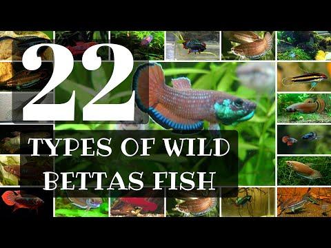 22 Types of WILD BETTA FISH