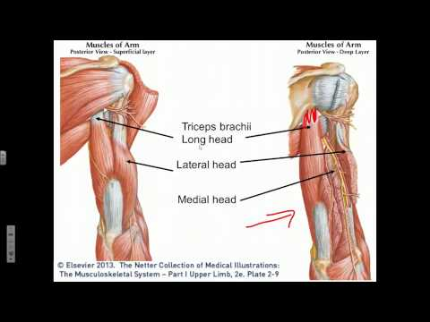 Elbow Joint Flexion, Extension, Supination, Pronation - YouTube