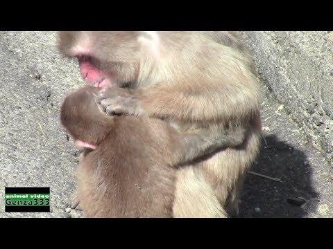 Baby monkey grooming.