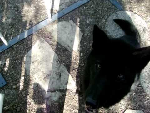 Alaskan Noble Companion Dog (ANCD) - International Tamaskan Forum