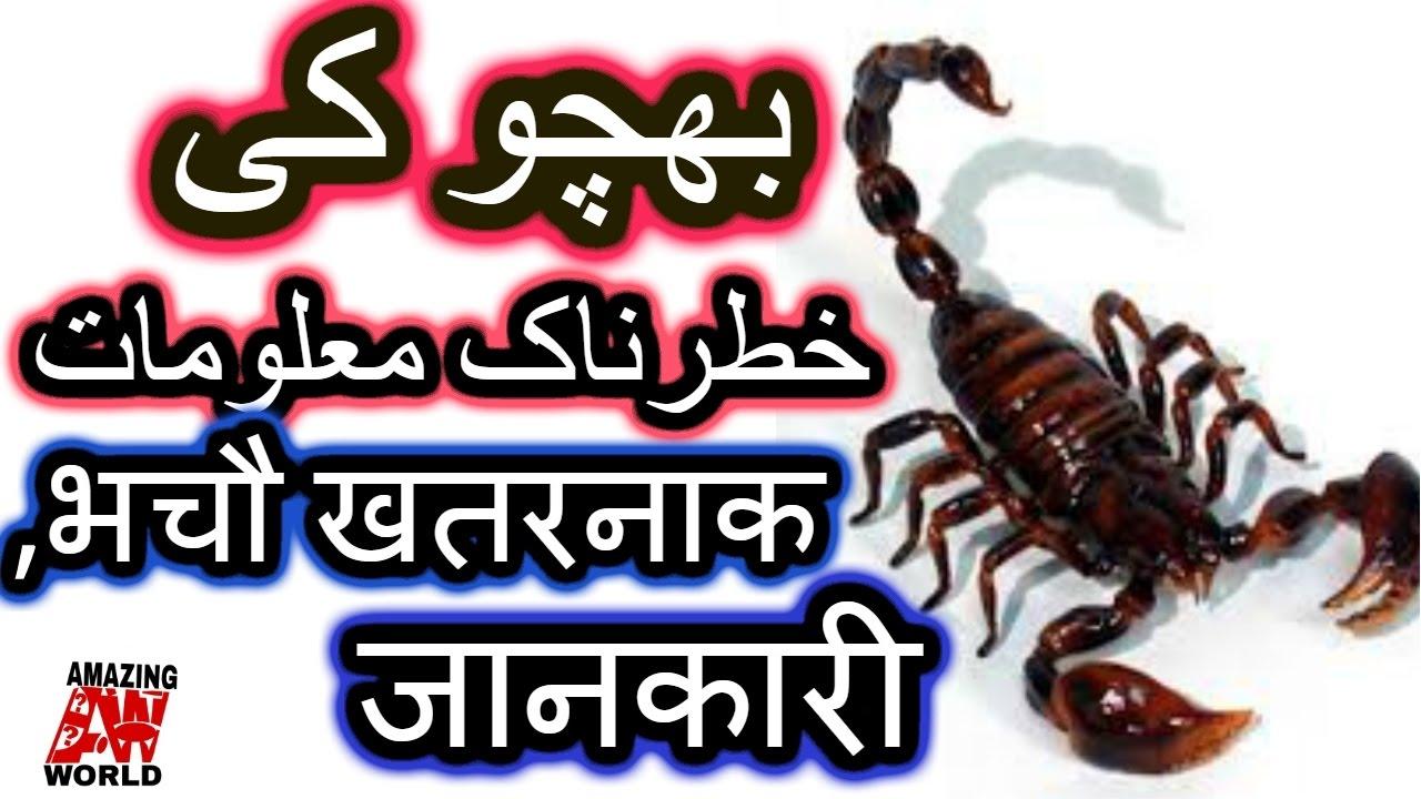Information About scorpions | dilchasp maloomat Bichhoo Ke Bare main/ Urdu/  Hindi