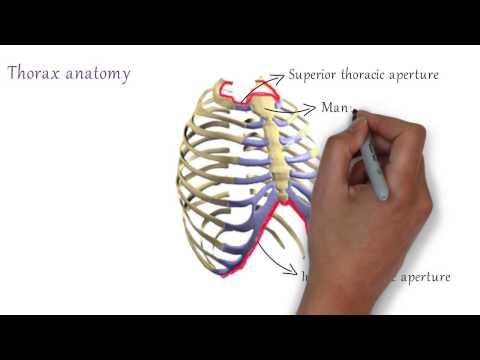 Thorax Anatomy : Bones Of Thorax
