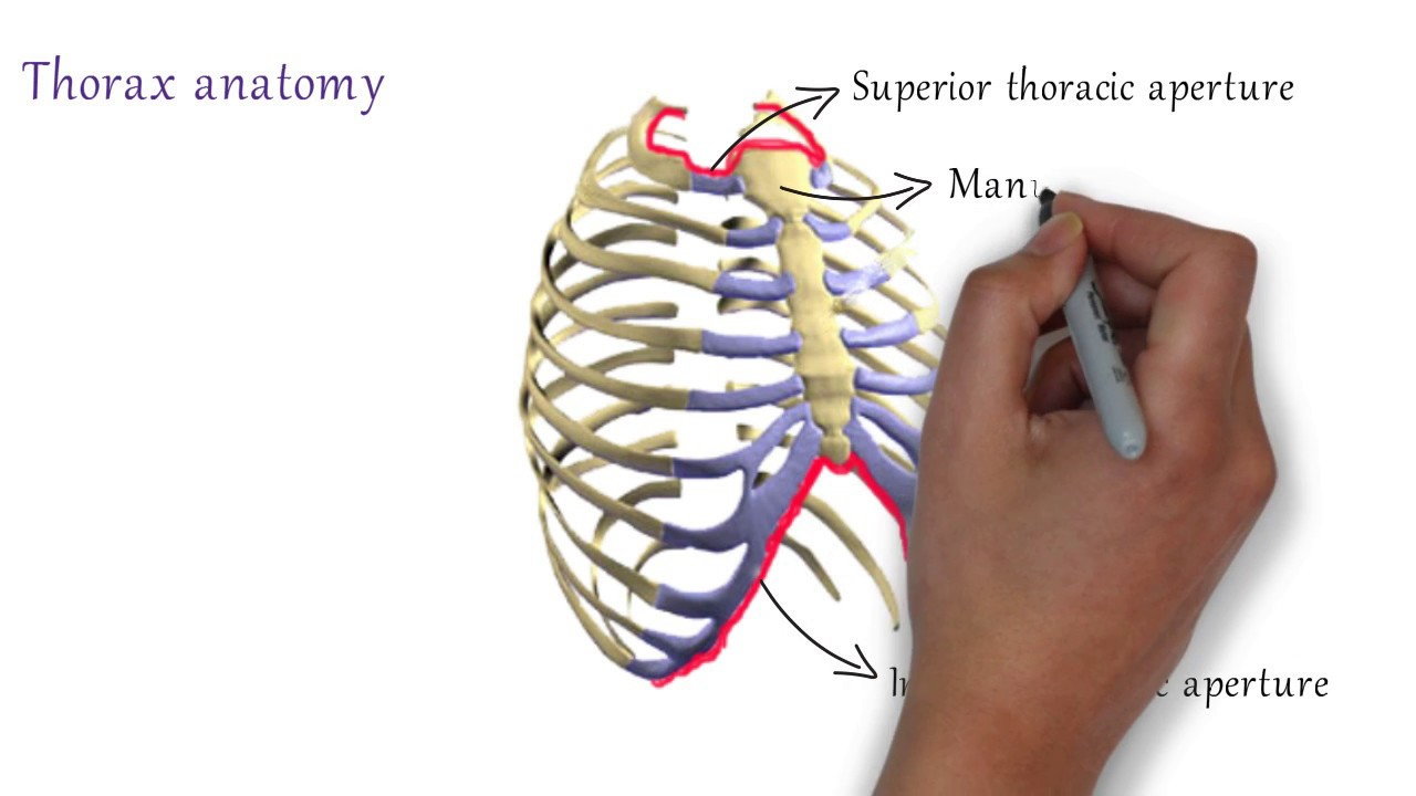 Thorax Anatomy : Bones of Thorax - YouTube
