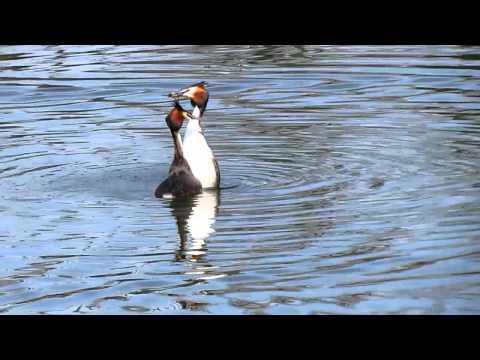 Haubentaucher Balz: Pinguintanz
