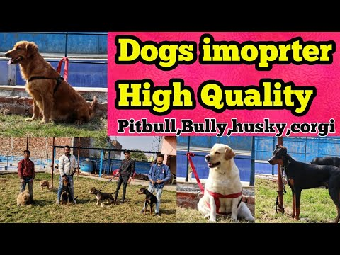 STARTING 2000 ONLY | IMPORTED DOG'S At A Very CHEAP PRICE | Siberian HUSKY | CORGI | Dobermann