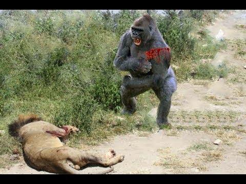 Craziest Animal Fights ⇫ Classic fight Lion , gorilla ...