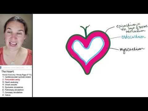 Heart 2- Pericardial cavity