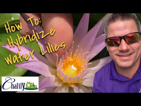 Hybridizing Waterlillies