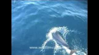 Indo-Pacific humpbacked dolphins gambolling in the Indian Ocean
