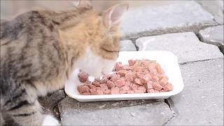 Kitten as always lives with cats (Cat Games- Cat Food)