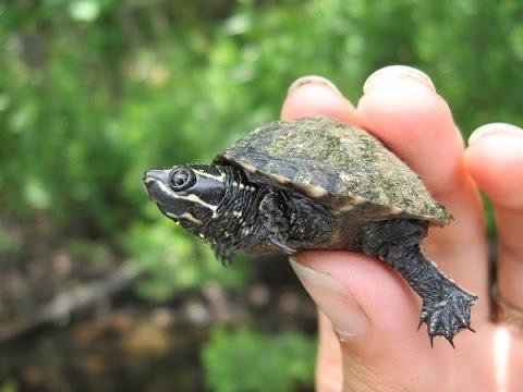 Мускусная черепаха / Sternotherus Odoratus (Мускусная обыкновенная)