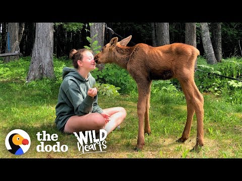 See What Happens When Family Brings Baby Moose Twins Into Their House | Wild Hearts