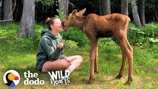 Family Brings Baby Moose Twins Into Their House — See What Happens Next! | The Dodo Wild Hearts