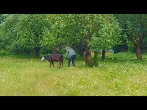 Cow Fail - funny fail - Cow and a bucket