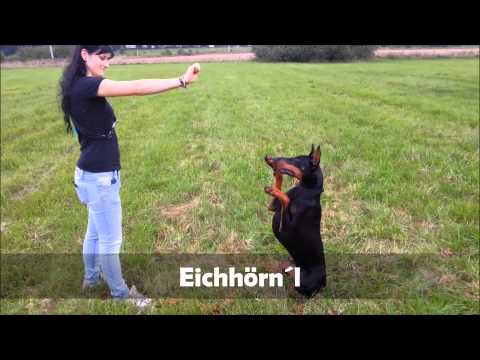 Hundetraining Dobermann in Sachsen Teil 1