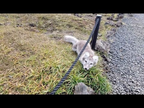 Rare Moment Man Meets Baby Arctic Fox