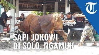 Sapi Jokowi Ngamuk saat akan Disembelih di Solo