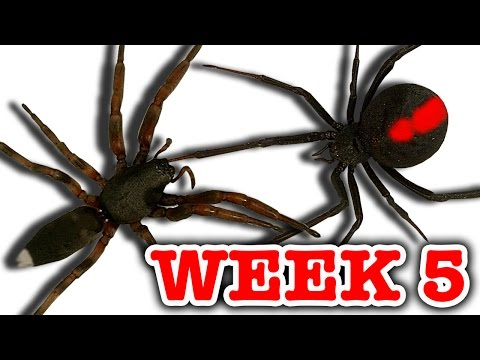 Redback Spider Vs White-Tailed Spider Pray For Gonzo Deadly Spiders Attack Week 5