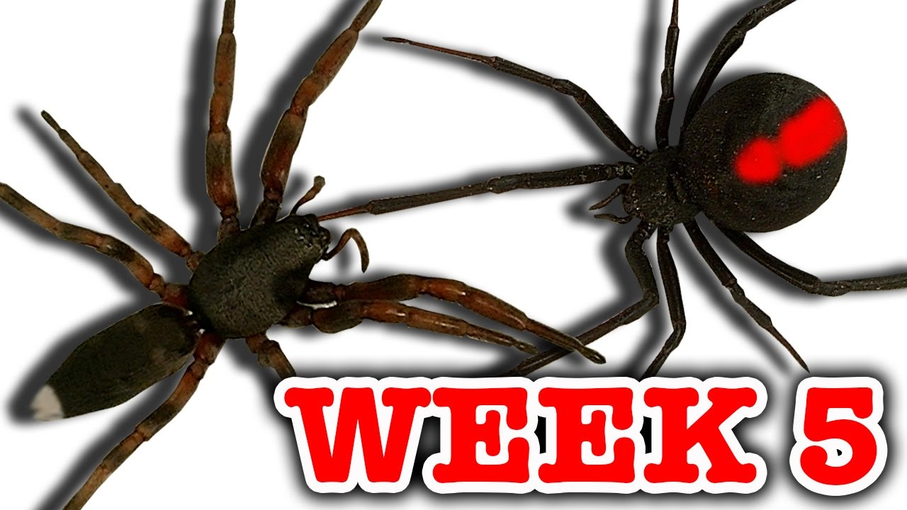 Redback Spider Vs White Tailed Spider Pray For Gonzo Deadly Spiders Attack Week 5