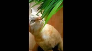 Кот ест траву