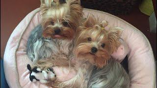 Йоркширский терьер. Самые смешные собаки. Йорки.