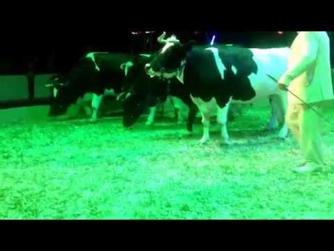 Circus cow