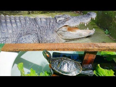 Một chiều nắng đẹp với rùa và cá sấu  (a lovely afternoon with turtle and crocodile)