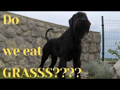 Giant Schnauzer the grass eating dog - BlackDogProduction
