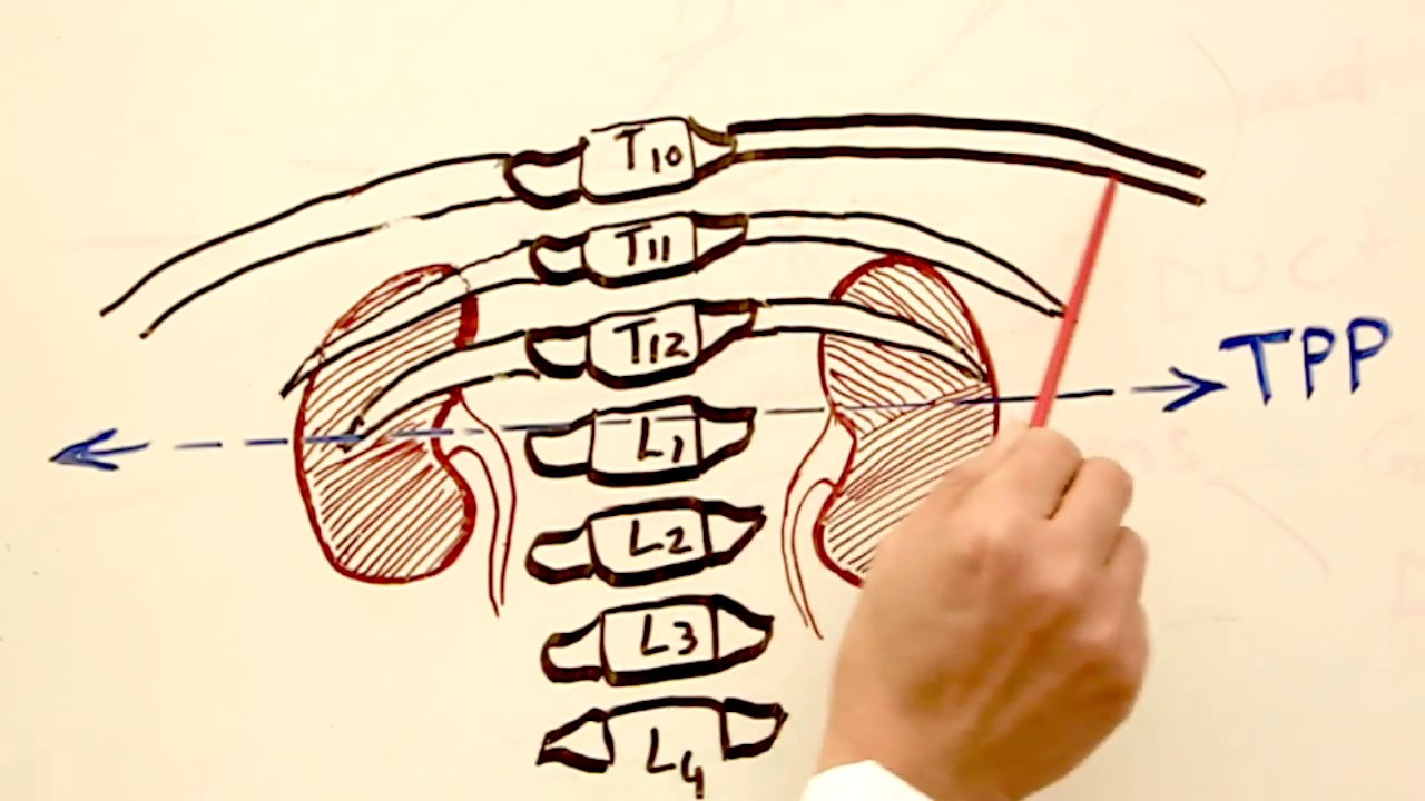 The Position Of The Kidneys