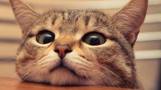 Смешные кошки 16 ● Приколы с животными осень 2014 ● Funny cats vine compilation ● Part 16