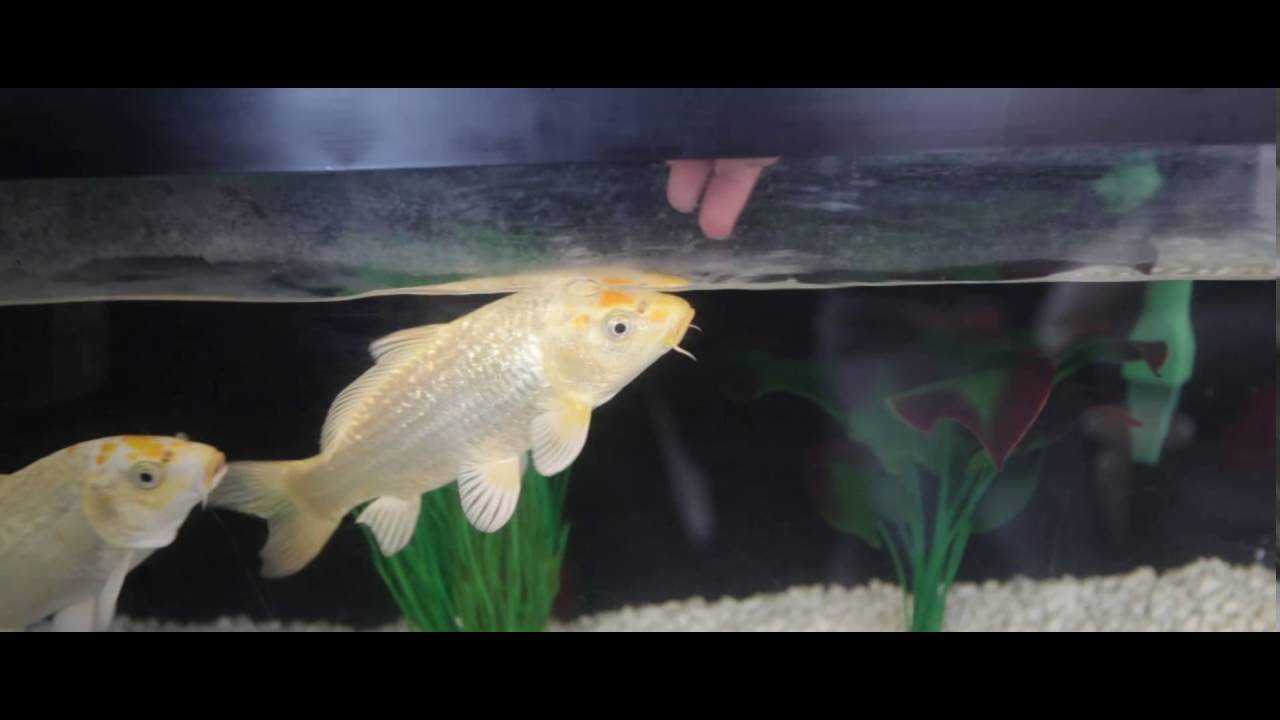 Hand feeding 2 silver white carp fish aquarium fishtank for Butterfly koi fish aquarium