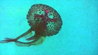 Jelly Fish filmed off the coast of Mallorca