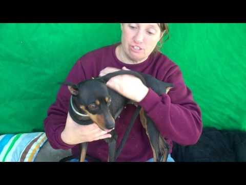 A5020838 Birdie | Manchester Terrier