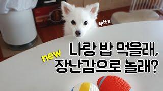 스피츠(spitz) 강아지에게 새로운 장난감을 주었을 …