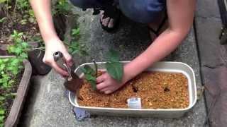 続☆ バラの挿し木から根が出たので植え替え thumbnail