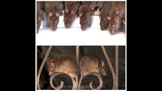 Karni Mata Mandir - Temple of Rats!
