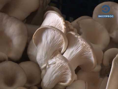 МИЦЕЛИЙ ВЕШЕНКИ  - купить мицелий вешенки (семена