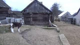 TVG-9 KOZY - Bawię Się w Tworzenie Nowej Rasy :)