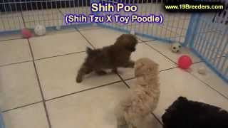 Shih Poo, Puppies For Sale, In Macon, Georgia, Ga, Athens,augusta, Columbus