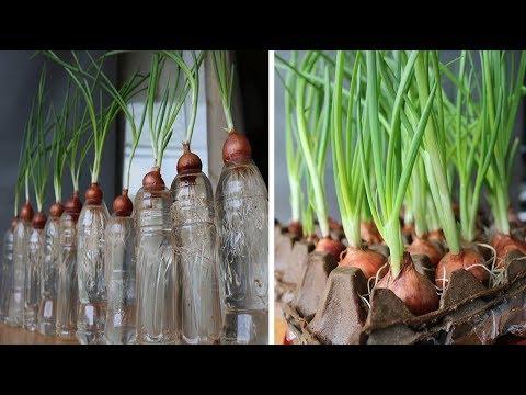 Thêm 3 cách trồng hành lá trong nước không thể ngờ   3 ways to grow green onions in unexpected ways