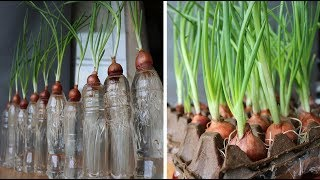 3 ways to grow green onions in unexpected ways