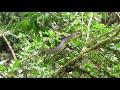 Rufous Motmot    Baryphthengus martii   Pájaro Bobo