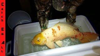 CATCHING WILD KOI! GIANT GOLD-FISH!