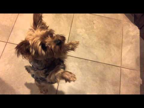 CUTEST YORKIE EVER Standing on Two Legs (Yorkshire Terrier) ★★★★★