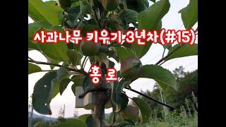 사과나무 키우기 3년차(#15)홍로