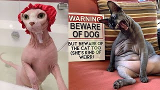 Cute and Funny Sphynx Cats ~ Funny moments ~ Cat breeds #3b
