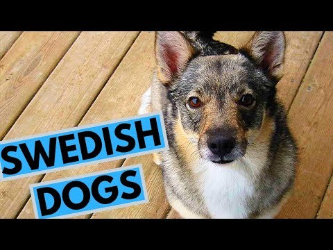TOP 10 Swedish Dog Breeds