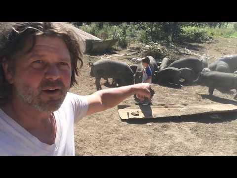 Redefining Pig Farming in America On a Suburban Farm Outside Seattle
