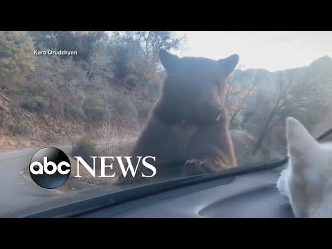 Man details bear encounter on hood of car | ABC News