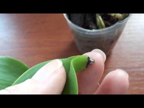 Может ли лист орхидеи дать корни.